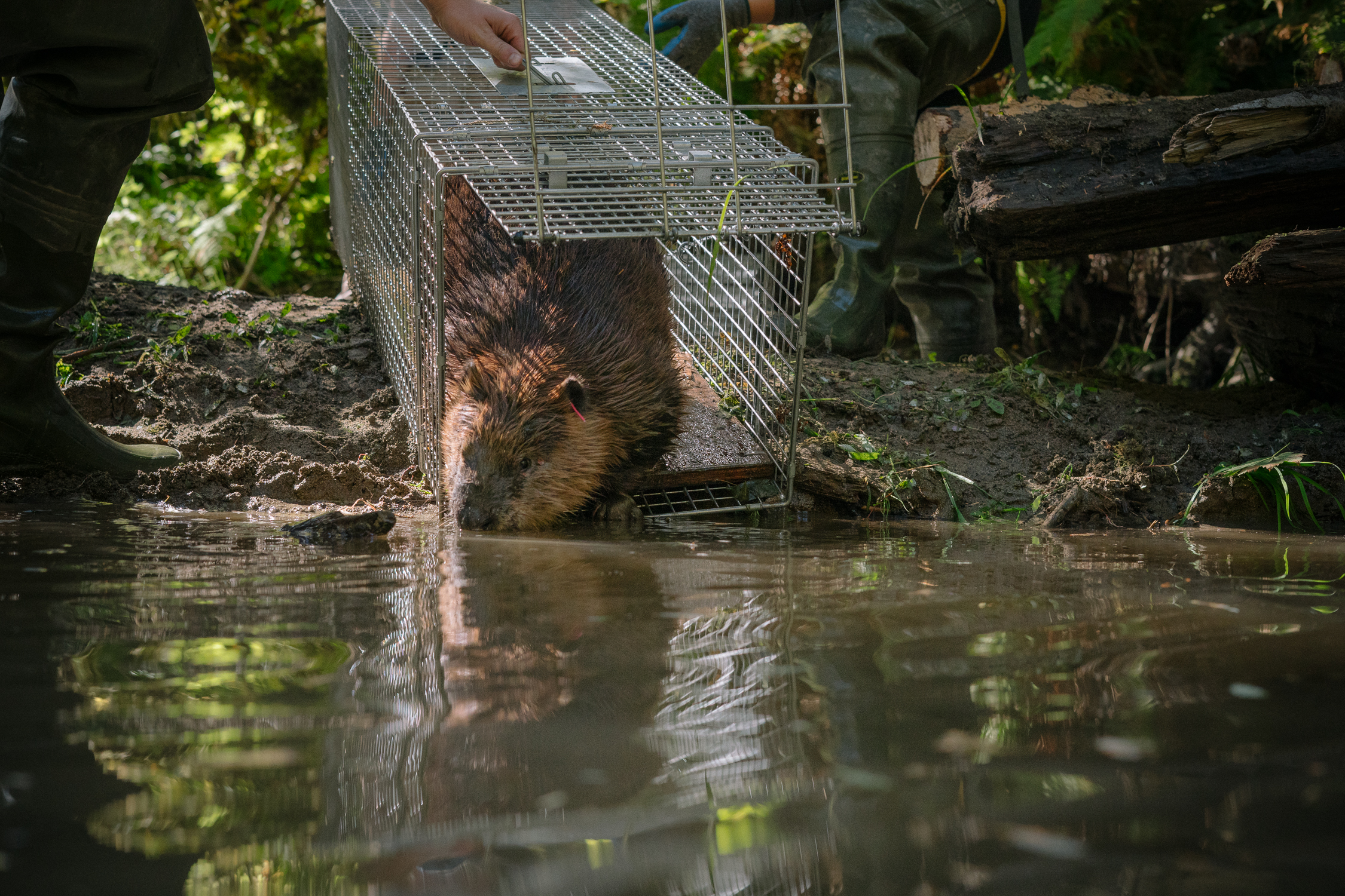 Using Beavers for Salmon Habitat Restoration
